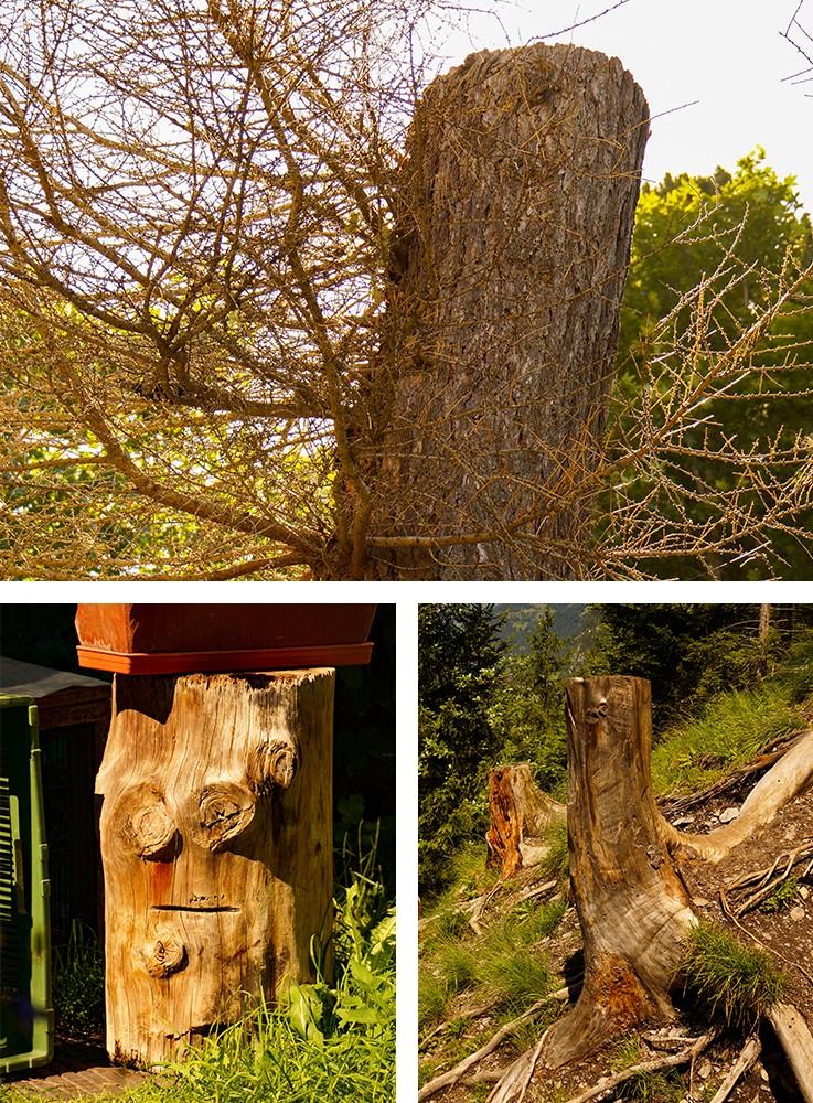 Baumstümpfe im Fangornwald